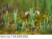 Подбел. Цветущее растение. Стоковое фото, фотограф Dmitry29 / Фотобанк Лори