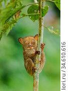 Horsfield's tarsier or western tarsier (Cephalopachus bancanus)( formerly Tarsius bancanus). Danum Valley, Sabah, Borneo. Стоковое фото, фотограф Nick Garbutt / Nature Picture Library / Фотобанк Лори