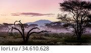 Herd of White-bearded Wildebeest (Connochaetes taurinus albojubatus) at first light. Annual Serengeti-Masai Mara migration. Near Ndutu, Ngorongoro Conservation... Стоковое фото, фотограф Nick Garbutt / Nature Picture Library / Фотобанк Лори