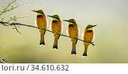 Four Little bee-eaters (Merops pusillus) perched on branch, Seronera Valley, Serenegeti National Park, Tanzania. Стоковое фото, фотограф Nick Garbutt / Nature Picture Library / Фотобанк Лори
