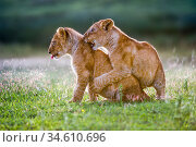 RF - African Lion cubs (Panthera leo) playing - age 4 months, Big... Стоковое фото, фотограф Nick Garbutt / Nature Picture Library / Фотобанк Лори