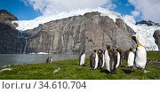 RF - King penguins (Aptenodytes patagonicus) at breeding colony. Gold Harbour, South Georgia, South Atlantic. (digitally stitched image) (This image may... Стоковое фото, фотограф Nick Garbutt / Nature Picture Library / Фотобанк Лори
