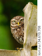 RF - Little owl (Athene noctua) on fence post in farmland, Surrey, England. (Controlled Conditions). (This image may be licensed either as rights managed or royalty free.) Стоковое фото, фотограф Nick Garbutt / Nature Picture Library / Фотобанк Лори
