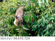 RF - Black-striped tufted capuchin (Cebus libidinosus) in deciduous forest along the banks of the Pixiam River, Northern Pantanal, Brazil. (This image... Стоковое фото, фотограф Nick Garbutt / Nature Picture Library / Фотобанк Лори