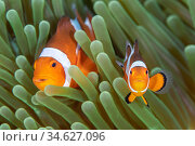 Western clown anemonefish (Amphiprion ocellaris) poses with a large, dominant female behind. The clownfish in the foreground is probably a juvenile. Bitung... Стоковое фото, фотограф Alex Mustard / Nature Picture Library / Фотобанк Лори