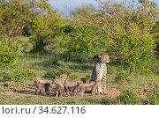 Female cheetah (Acinonyx jubatus) named Silgi (means 'bright future... Стоковое фото, фотограф Yashpal Rathore / Nature Picture Library / Фотобанк Лори