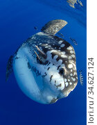 Ocean sunfish (Mola mola) and Pilot fish (Naucrates sp). Tenerife, Canary Islands. Стоковое фото, фотограф Sergio Hanquet / Nature Picture Library / Фотобанк Лори