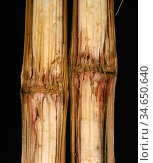 Stalk Rot (Gibberella zeae) in a Maize / Corn stem section (Zea mays). Стоковое фото, фотограф Nigel Cattlin / Nature Picture Library / Фотобанк Лори