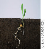 Maize / corn (Zea mays) seedling with two leaves and roots, growth stage 12. Стоковое фото, фотограф Nigel Cattlin / Nature Picture Library / Фотобанк Лори