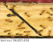 Pharoahs ant  (Monomorium pharaonis) colony on timber with workers... Стоковое фото, фотограф Nigel Cattlin / Nature Picture Library / Фотобанк Лори