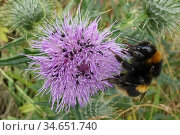 Buff-tailed bumblebee (Bombus terrestris) nectaring on Spear thistle (Cirsium vulgare), thistle with Pollen beetle (Brassicogethes aeneus) infestation. Berkshire, England, UK. July. Стоковое фото, фотограф Nigel Cattlin / Nature Picture Library / Фотобанк Лори