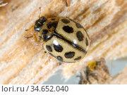 16-spot ladybird (Tytthaspis sedecimpunctata) overwintering on old wood, close up. Berkshire, England, UK. May. Стоковое фото, фотограф Nigel Cattlin / Nature Picture Library / Фотобанк Лори