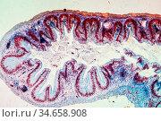 Frosch Dickdarm Gewebe unter dem Mikroskop 100x. Стоковое фото, фотограф Zoonar.com/Dr. Norbert Lange / easy Fotostock / Фотобанк Лори