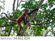 Black-handed spider monkey (Ateles geoffroyi), Osa Peninsula, Costa Rica. Стоковое фото, фотограф David Pattyn / Nature Picture Library / Фотобанк Лори