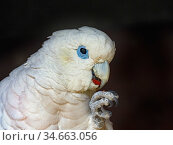 Solomons cockatoo (Cacatua ducorpsii) feeding, captive, occurs in Solomon Islands. Стоковое фото, фотограф Ernie Janes / Nature Picture Library / Фотобанк Лори