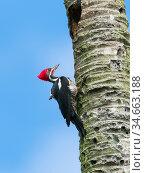 Lineated woodpecker (Dryocopus lineatus lineatus) male, coastal rainforest, Mata Atlantica, Bahia, Brazil. Стоковое фото, фотограф Konrad Wothe / Nature Picture Library / Фотобанк Лори