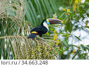 White-throated toucan (Ramphastos tucanus cuvieri) feeding on palm fruit, rainforest near Manaus, Amazon Basin, Brazil. Стоковое фото, фотограф Konrad Wothe / Nature Picture Library / Фотобанк Лори