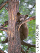 American black bear cub (Ursus americanus), about 6 months, sitting in a refuge tree while its mother forages nearby. Superior National Forest, Minnesota. USA.June. Стоковое фото, фотограф Jenny E. Ross / Nature Picture Library / Фотобанк Лори
