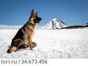 Dog breed German Shepherd. Редакционное фото, фотограф Вита Фортуна / Фотобанк Лори