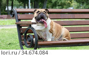 Purebred English bulldog with his tongue hanging out rests on a bench in a city park. Стоковое видео, видеограф Алексей Кузнецов / Фотобанк Лори