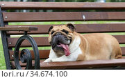 Thoroughbred English bulldog with his tongue hanging out rests on a bench in a city park. Стоковое видео, видеограф Алексей Кузнецов / Фотобанк Лори