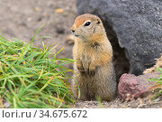 Arctic ground squirrel, carefully looking so as not to fall into jaws of predatory beasts. Curious wild animal of genus rodents of squirrel family. Стоковое фото, фотограф А. А. Пирагис / Фотобанк Лори
