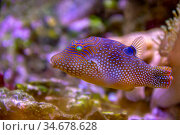 Colorful dotted pufferfish in natural ambiance. Стоковое фото, фотограф Zoonar.com/PRILL Mediendesign Fotografie / easy Fotostock / Фотобанк Лори