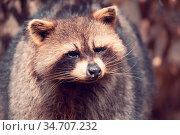 Portrait of Raccoon (Procyon lotor), also known as the North American... Стоковое фото, фотограф Zoonar.com/Artush Foto / easy Fotostock / Фотобанк Лори