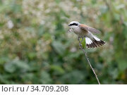 Red-backed Shrike ( Lanius collurio ), adult male perched on top ... Стоковое фото, фотограф Ralf Kistowski / age Fotostock / Фотобанк Лори