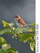 Red-backed Shrike ( Lanius collurio ), adult female perched on top... Стоковое фото, фотограф Ralf Kistowski / age Fotostock / Фотобанк Лори