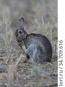 Rabbit / European Rabbit ( Oryctolagus cuniculus ) cleaning, licking... Стоковое фото, фотограф Ralf Kistowski / age Fotostock / Фотобанк Лори