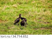 Glossy Ibis wading bird, Threskiornithidae, Kenya. Стоковое фото, фотограф Сергей Новиков / Фотобанк Лори