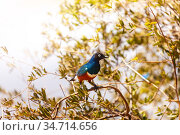 swallow Superb starling bird on branch in Kenya. Стоковое фото, фотограф Сергей Новиков / Фотобанк Лори
