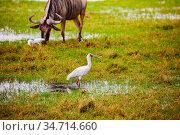 Yellow-billed stork Ibis and wild beast animal. Стоковое фото, фотограф Сергей Новиков / Фотобанк Лори