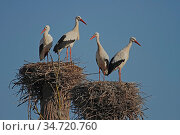 Weißstorch, Ciconia ciconia, Oriental stork, White stork. Стоковое фото, фотограф Zoonar.com/Gerd Herrmann / easy Fotostock / Фотобанк Лори