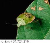Southern green stink bug (Nezara viridula) nymph on Soyabean leaf. Стоковое фото, фотограф Nigel Cattlin / Nature Picture Library / Фотобанк Лори