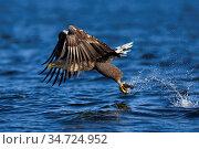 Seeadler, (Haliaeetus albicilla), fliegend, im Flug, Mecklenburg-... Стоковое фото, фотограф Zoonar.com/Carsten Braun / age Fotostock / Фотобанк Лори