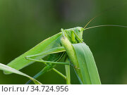 Grüne Heupferd (Tettigonia viridissima), Familie der Langfühlerschrecken... Стоковое фото, фотограф Zoonar.com/Winfried Schäfer / age Fotostock / Фотобанк Лори