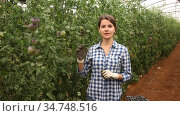 Experienced female grower engaged in cultivation of organic vegetables, checking crop of blue tomatoes in greenhouse. Стоковое видео, видеограф Яков Филимонов / Фотобанк Лори