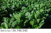 Closeup of young green spinach growing on large plantation on spring day. Стоковое видео, видеограф Яков Филимонов / Фотобанк Лори