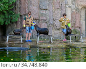 Moscow zoo. Zookeepers with family of northern fur seals (Callorhinus ursinus). Two females with cub. Редакционное фото, фотограф Валерия Попова / Фотобанк Лори