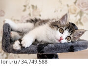kitten lying on bed and looking at camera. Стоковое фото, фотограф Михаил Коханчиков / Фотобанк Лори