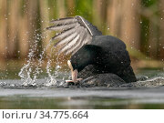 Coot (Fulica atra) two fighting in a territorial dispute during the breeding season. Valkenhorst Nature Reserve, Valkenswaard, The Netherlands, May. Стоковое фото, фотограф David Pattyn / Nature Picture Library / Фотобанк Лори