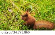 red squirrel at summer park. Стоковое видео, видеограф Syda Productions / Фотобанк Лори