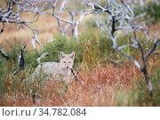 Patagonian grey fox (Lycalopex griseus) Los Glacias National Park... Стоковое фото, фотограф Jeff Vanuga / Nature Picture Library / Фотобанк Лори