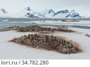 Chinstrap penguins (Pygoscelis antarcticus) colony on Petermann Island, Antarctica. Стоковое фото, фотограф Jeff Vanuga / Nature Picture Library / Фотобанк Лори