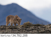 Wild puma (Puma concolor) stalking Guanacos, Torres del Paine National Park, Chile. Стоковое фото, фотограф Jeff Vanuga / Nature Picture Library / Фотобанк Лори