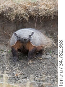 Patagonian armadillo (Chaetophractus villosus) Chile. Стоковое фото, фотограф Jeff Vanuga / Nature Picture Library / Фотобанк Лори