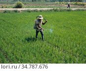 Filipino spraying in a young upland rice (Oryza sativa) crop with a knapsack sprayer, Luzon, Philippines. Стоковое фото, фотограф Nigel Cattlin / Nature Picture Library / Фотобанк Лори