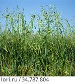 Wild oats (Avena fatua) annual arable grass weed flowering spikes in barley crop in green ear. Стоковое фото, фотограф Nigel Cattlin / Nature Picture Library / Фотобанк Лори